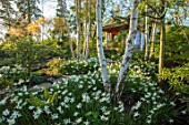 MORTON HALL, WORCESTERSHIRE: WHITE TRUNK OF BIRCHES, WHITE NARCISSUS AND WOODEN JAPANESE TEA HOUSE, SPRING, BULBS, TRUNK, BIRCH, BETULA, GARDEN, BUILDING, ENGLISH