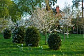 MORTON HALL, WORCESTERSHIRE: AVENUE OF VIBURNUMS AND WHITE FLOWERED AMELANCHIER C GRANDIFLORA PRINCESS DIANA. TREE, SHRUB, SERVICEBERRY, SPRING, LAWN, GRASS