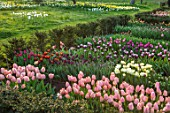 WARDINGTON MANOR, OXFORDSHIRE: SPRING - TULIPS PLANTED FOR CUTTING. GARDEN, YEW, HEDGES, HEDGING, TAXUS, BEDS, BULBS, COTTAGE, DAFFODILS, MEADOW