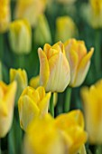 THE LAND GARDENERS, WARDINGTON MANOR, OXFORDSHIRE: CLOSE UP PLANT PORTRAIT OF GOLD, YELLOW FLOWERS OF TULIP - TULIPA GOLDEN DYNASTY. BULBS, PETALS, SPRING, APRIL
