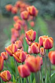THE LAND GARDENERS, WARDINGTON MANOR, OXFORDSHIRE: CLOSE UP PLANT PORTRAIT OF ORANGE, BROWN FLOWERS OF TULIP - TULIPA BROWN SUGAR. BULBS, PETALS, SPRING, APRIL