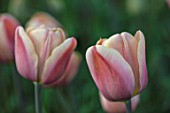THE LAND GARDENERS, WARDINGTON MANOR, OXFORDSHIRE: CLOSE UP PLANT PORTRAIT OF PINK, SALMON FLOWERS OF TULIP - TULIPA DESIGN IMPRESSION. BULBS, PETALS, SPRING, APRIL