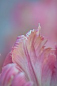 THE LAND GARDENERS, WARDINGTON MANOR, OXFORDSHIRE: CLOSE UP PLANT PORTRAIT OF PINK, GREEN FLOWERS OF TULIP - TULIPA WEBERS PARROT. BULBS, PETALS, SPRING, APRIL. ABSTRACT