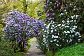 CAERHAYS CASTLE, CORNWALL: AZALEAS AND CAMELLIAS BESIDE A PATH IN THE WOODLAND GARDEN. SPRING, ENGLISH, COUNTRY, GARDEN