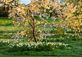 WARDINGTON MANOR, OXFORDSHIRE: THE LAND GARDENERS - SPRING, DAFFODILS AND CHERRY BLOSSOM IN THE MEADOW. PRUNUS, NARCISSUS, NARCISSI, CHERRIES, TREES, BULBS, APRIL