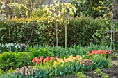 WARDINGTON MANOR, OXFORDSHIRE: THE LAND GARDENERS - SPRING, TULIPS GROWING IN THE WALLED GARDEN. CUTTING, FLOWERS, BLOOMING, PETALS, BULBS, APRIL