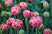 THE LAND GARDENERS, WARDINGTON MANOR, OXFORDSHIRE: CLOSE UP PLANT PORTRAIT OF RED, PINK FLOWERS OF TULIP - TULIPA COPPER IMAGE . BULBS, PETALS, SPRING, APRIL