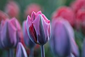 THE LAND GARDENERS, WARDINGTON MANOR, OXFORDSHIRE: CLOSE UP PLANT PORTRAIT OF PURPLE, PINK FLOWERS OF TULIP - TULIPA PRETTY PRINCESS  . BULBS, PETALS, SPRING, APRIL