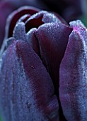 THE LAND GARDENERS, WARDINGTON MANOR, OXFORDSHIRE: CLOSE UP PLANT PORTRAIT OF PURPLE, BLACK FLOWERS OF TULIP - TULIPA PAUL SCHERER. BULBS, PETALS, SPRING, APRIL, ABSTRACT