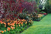 PASHLEY MANOR GARDEN, EAST SUSSEX. SPRING - LAWN AND BORDER WITH TULIPS - TULIPA ORANGE EMPEROR, PHORMIUM AND COTINUS. BULBS, ENGLISH, COUNTRY, HOT, ORANGE, RED, FLOWERS