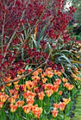 PASHLEY MANOR GARDEN, EAST SUSSEX. SPRING - BORDER WITH TULIPS - TULIPA ORANGE EMPEROR, PHORMIUM AND COTINUS. BULBS, ENGLISH, COUNTRY, HOT, ORANGE, RED, FLOWERS