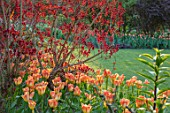 PASHLEY MANOR GARDEN, EAST SUSSEX. SPRING - LAWN AND BORDER WITH TULIPS - TULIPA ORANGE EMPEROR, COTINUS. BULBS, ENGLISH, COUNTRY, HOT, ORANGE, RED, FLOWERS