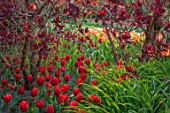 PASHLEY MANOR GARDEN, EAST SUSSEX. SPRING - BORDER WITH TULIPS - TULIPA COULEUR CARDINAL AND COTINUS. BULBS, ENGLISH, COUNTRY, HOT, ORANGE, RED, FLOWERS