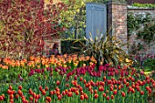 PASHLEY MANOR GARDEN, EAST SUSSEX. SPRING - BORDER WITH TULIPS - TULIPA DAVENPORT, TULIPA ORANGE EMPEROR, PHORMIUM, COTINUS. BULBS, ENGLISH, COUNTRY, HOT, ORANGE, RED, FLOWERS