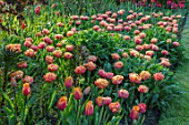 PASHLEY MANOR GARDEN, EAST SUSSEX. SPRING, BORDER, TULIPS - TULIPA SENSUAL TOUCH. BULBS, ORANGE, RED, PEACH, FLOWERS, COUNTRY, ENGLISH, HOT, APRIL