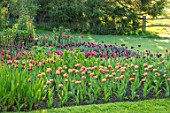 PASHLEY MANOR GARDEN, EAST SUSSEX. SPRING. LAWN AND BORDER OF TULIPS - TULIPA SENSUAL TOUCH AND TULIPA DAVENPORT. BULBS, COUNTRY, ENGLISH, APRIL