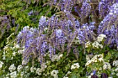 PASHLEY MANOR GARDEN, EAST SUSSEX. SPRING. PLANT COMBINATION, ASSOCIATION OF WISTERIA AND CHOISYA TERNATA. PURPLE, WHITE, BLUE, APRIL, ENGLISH, COUNTRY, CLIMBERS, CLIMBING, SCENT
