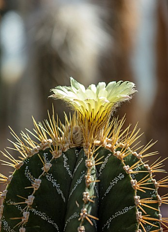 CHESTER_ZOO_CHESHIRE_CACTUS_IN_FLOWER_IN_THE_CACTUS_GREENHOUSE_SPRING_APRIL_BLOOM_BLOOMING_WHITE_CRE