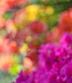 CHESTER ZOO, CHESHIRE: OUT OF FOCUS IMAGE OF AZALEAS IN SPRING. APRIL, ABSTRACT