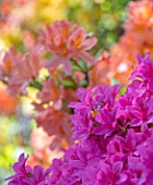 CHESTER ZOO, CHESHIRE: AZALEAS IN SPRING. APRIL, WOODLAND, SHRUB, PINK, ORANGE,  FLOWERS, FLOWER, BLOOM, BLOOMS, FRAGRANT, SCENTED