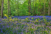 HOLE PARK, KENT: THE BLUEBELL WOOD IN SPRING. MAY, FLOWERS, WOODLAND, BULBS, DRIFTS, SCENTED, FRAGRANT, WOODS, PATH, PATHWAYS, SHADE, SHADY, COUNTRY, GARDENS, ENGLISH