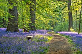HOLE PARK, KENT: THE BLUEBELL WOOD IN SPRING. MAY, FLOWERS, WOODLAND, BULBS, DRIFTS, SCENTED, FRAGRANT, WOODS, PATH, PATHWAYS, SHADE, SHADY, COUNTRY, GARDENS, ENGLISH, BECH, SEAT