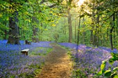 HOLE PARK, KENT: THE BLUEBELL WOOD IN SPRING. MAY, FLOWERS, WOODLAND, BULBS, DRIFTS, SCENTED, FRAGRANT, WOODS, PATH, PATHWAYS, SHADE, SHADY, COUNTRY, GARDENS, ENGLISH. BENCH, SEAT