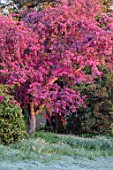 HOLE PARK, KENT: PINK BLOSSOM ON CRAB APPLE - MALUS PROFUSION. WOODS, COUNTRY, GARDENS, ENGLISH, MAY, SPRING