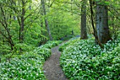 HOLE PARK, KENT: PATH THROUGH WOODS, WOODLAND, PATHWAYS, SPRING, MAY, RANSOMES, WILD, GARLIC, ALLIUM URSINUM, NATURALISED, BULBS, MEADOWS, GREEN, WHITE, FLOWERS, BLOOMS, BLOOMING
