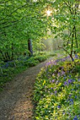 HOLE PARK, KENT: THE BLUEBELL WOOD IN SPRING. MAY, FLOWERS, WOODLAND, BULBS, DRIFTS, SCENTED, FRAGRANT, WOODS, PATH, PATHWAYS, SHADE, SHADY, COUNTRY, GARDENS, ENGLISH, BENCH, SEAT