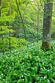 HOLE PARK, KENT: WOODS, WOODLAND, SPRING, MAY, RANSOMES, WILD, GARLIC, ALLIUM URSINUM, NATURALISED, BULBS, MEADOWS, GREEN, WHITE, FLOWERS, BLOOMS, BLOOMING
