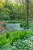 HOLE PARK, KENT: POND, POOL, WOODS, WOODLAND, SPRING, MAY, RANSOMES, WILD, GARLIC, ALLIUM URSINUM, NATURALISED, BULBS, MEADOWS, GREEN, WHITE, FLOWERS, BLOOMS, BLOOMING