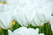 KEUKENHOF, NETHERLANDS: HOLLAND, CLOSE UP PLANT PORTRAIT OF THE WHITE FLOWERS OF TRIUMPHATOR TULIP - TULIPA SNOWHUNT, MAY, SPRING, BULBS, FLOWERING, BLOOM, PETALS