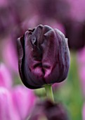 KEUKENHOF, NETHERLANDS: HOLLAND, CLOSE UP PLANT PORTRAIT OF THE BLACK, PURPLE FLOWERS OF TULIP - TULIPA PAUL SCHERER. MAY, SPRING, BULBS, FLOWERING, BLOOM