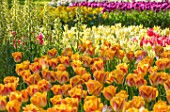 KEUKENHOF, NETHERLANDS: PLANT COMBINATION, ASSOCIATION - TULIPA SALMON DYNASTY AND FRITILLARIA PERSICA IVORY BELLS. TULIP, BULBS, FLOWERS, FLOWERING, SPRING, MAY