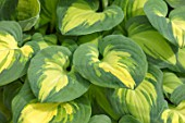 KEUKENHOF, NETHERLANDS: HOLLAND, CLOSE UP PLANT PORTRAIT OF THE GREEN, YELLOW LEAVES OF HOSTA ELEANOR LACHMAN. MAY, SPRING, PERENNIALS, FOLIAGE, VARIEGATED, LIME