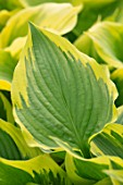 KEUKENHOF, NETHERLANDS: HOLLAND, CLOSE UP PLANT PORTRAIT OF THE GREEN, YELLOW LEAVES OF HOSTA GRAND MARMALADE. MAY, SPRING, PERENNIALS, FOLIAGE, VARIEGATED, LIME