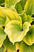 KEUKENHOF, NETHERLANDS: HOLLAND, CLOSE UP PLANT PORTRAIT OF THE GREEN, YELLOW LEAVES OF HOSTA DUTCH FLAME. MAY, SPRING, PERENNIALS, FOLIAGE, VARIEGATED, LIME