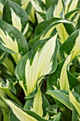 KEUKENHOF, NETHERLANDS: HOLLAND, CLOSE UP PLANT PORTRAIT OF THE GREEN, CREAM LEAVES OF HOSTA WHIRLWIND. MAY, SPRING, PERENNIALS, FOLIAGE, VARIEGATED