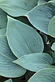 KEUKENHOF, NETHERLANDS: HOLLAND, CLOSE UP PLANT PORTRAIT OF THE GREEN, BLUE LEAVES OF HOSTA HALCYON. MAY, SPRING, PERENNIALS, FOLIAGE