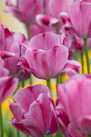KEUKENHOF_NETHERLANDS_HOLLAND_CLOSE_UP_PLANT_PORTRAIT_OF_THE_PINK_FLOWERS_OF_TRIUMPHATOR_TULIP__TULI