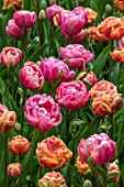 KEUKENHOF, NETHERLANDS: PLANT COMBINATION, ASSOCIATION - ORANGE FLOWERS OF TULIP - TULIPA COPPER IMAGE, PINK TULIPA AMAZING GRACE. BULBS, FLOWERS, FLOWERING, SPRING, MAY