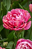 KEUKENHOF, NETHERLANDS: CLOSE UP PLANT PORTRAIT OF THE PINK FLOWER OF TULIP - TULIPA AMAZING GRACE. BULBS, FLOWERS, FLOWERING, SPRING, MAY