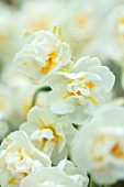KEUKENHOF, NETHERLANDS: CLOSE UP PLANT PORTRAIT OF THE WHITE, YELLOW FLOWERS OF NARCISSUS BRIDAL CROWN. NARCISSI, BULB, SPRING, MAY, SCENT, SCENTED, FRAGRANT