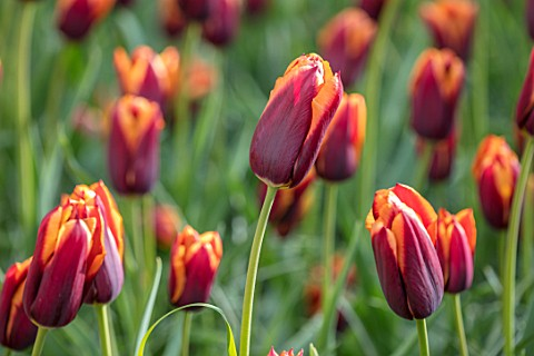 KEUKENHOF_NETHERLANDS_HOLLAND_CLOSE_UP_PLANT_PORTRAIT_OF_RED_ORANGE_FLOWER_OF_TRIUMPHATOR_TULIP__TUL