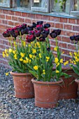 MORTON HALL, WORCESTERSHIRE: TERRACOTTA CONTAINERS BESIDE GLASSHOUSE PLANTED IN SPRING WITH NARCISSUS JONQUILLA BABY MOON AND TULIP - TULIPA PAUL SCHERER. POT, POTS, GRAVEL