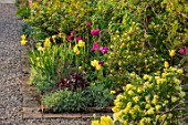 MORTON HALL, WORCESTERSHIRE: THE KITCHEN GARDEN IN SPRING. MAY, WALLED, WALL, WALLS, TULIPS NEGRITA AND MOONLIGHT GIRL, CORONILLA GLAUCA CITRINA, IRIS GERMANICA MAUI MOONLIGHT