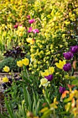 MORTON HALL, WORCESTERSHIRE: THE KITCHEN GARDEN IN SPRING. MAY, CORONILLA GLAUCA CITRINA, TULIPS NEGRITA AND MOONLIGHT GIRL, CORONILLA GLAUCA CITRINA, IRIS GERMANICA MAUI MOONLIGHT