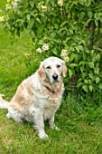 THE GOBBETT NURSERY, SHROPSHIRE: ELLIE THE DOG BESIDE LILAC BUSH. ANIMAL, PET, ORCHARD