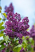 THE GOBBETT NURSERY, SHROPSHIRE: CLOSE UP PLANT PORTRAIT OF THE PINK, PURPLE FLOWERS OF LILAC - SYRINGA VULGARIS ALBERT F HOLDEN. SCENT, SCENTED, FRAGRANT, DECIDUOUS, SHRUB